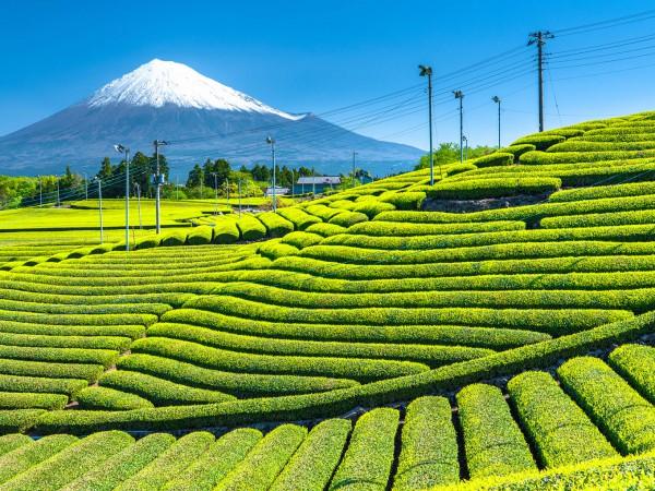 風は淡い緑色…茶の安らぎを求めて静岡県島田市へ【ワイン航海日誌】