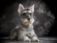 愛犬の魅力を永久保存!犬専門写真館・薬師スタジオ